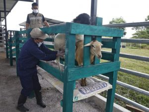 Proyecto ganadero beneficiará a 2700 productores en San Martín