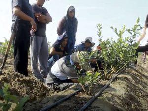 Ancash: Productores de Lacramarca incrementan producción de arándanos