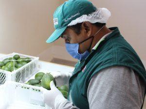 Moquegua prosigue exportación de palta al mercado chileno