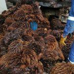 Ucayali: Elaboran envases biodegradables con residuos de palma aceitera