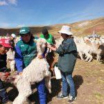 Protegerán a más de 130 mil cabezas de ganado en Pasco