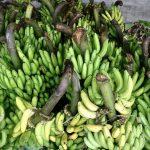 Impulsan cultivo de plátano en Madre de Dios