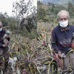 Pasco: Centenario de Pensión 65 incursiona en cultivo de piñas orgánicas
