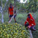 Incremento de producción de naranjas en San Martín