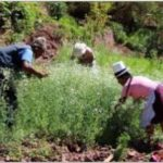 Instalan 56 mil hectáreas de pastos cultivados ante bajas temperaturas