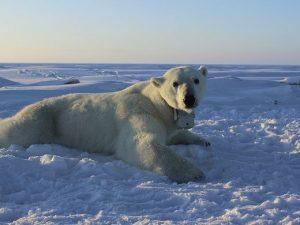 Advierten extinción casi total de osos polares para 2100