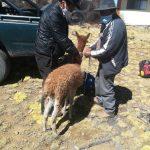 Rescatan a vicuña herida en Ayacucho