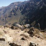 Arequipa: Monitoreo de cóndor liberado da buenos resultados