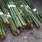 Promueven plantaciones de bambú para mitigar el cambio climático