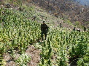 Erradican 7 toneladas de marihuana en la región Ayacucho