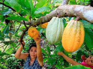 San Martín y Piura revisan investigaciones en cultivo de cacao