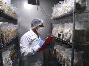 Impulsan uso de energía solar en producción de semillas de hongos comestibles