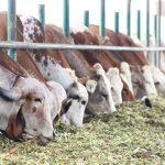 Amazonas: Productores mejoran calidad de carne del ganado vacuno