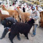 Ayacucho: Entregan kits veterinarios para cuidado de 1800 alpacas
