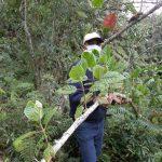 Amazonas: Producirán plantones de quina en Luya y Chachapoyas
