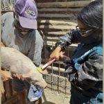 Piura: Identificarán animales para disminuir riesgos de enfermedades