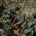 Adultos mayores se insertan en la cadena productiva del café