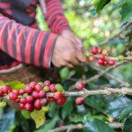 Minam: Comunidades nativas producen café de alta calidad sin deforestar