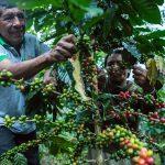Más de 17 mil cafetaleros elevan calidad y producción de café con proyectos de innovación