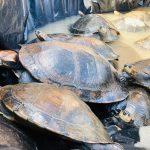 Ucayali: Liberan animales silvestres sometidos a cautiverio