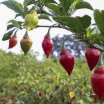 Identifican 5 variedades nativas de ajíes ideales para la gastronomía
