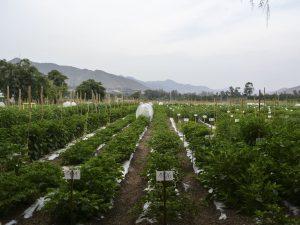 Día Nacional de los Ajíes: Universidad Agraria presenta estudios sobre 300 variedades
