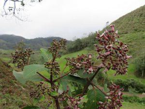 Investigan potencialidad del genoma nuclear del árbol de la quina