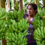 Huánuco: Financian a productores de plátano, café y cacao