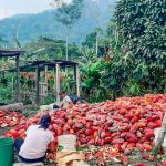 Monzón: Agricultores venden 12 toneladas de cacao por más de S/ 97 000
