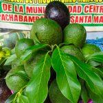 Impulsan producción de palto y té verde en tres provincias de Huánuco