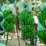 Minagri incorpora variedades de banano orgánico de alta calidad genética