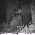 Madre de Dios: Buscan proteger población amenazada por grandes felinos