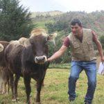 Huánuco: Mejoran raza de ganado vacuno en Lauricocha