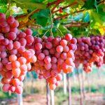 En primeros siete meses del año exportaciones de uvas sumaron US$ 439 millones
