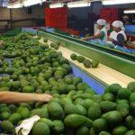 Exportaciones de paltas sumaron US$ 636 millones en los primeros siete meses del año