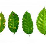 Tecnología ecológica para proteger cultivos de café del Vraem contra plagas