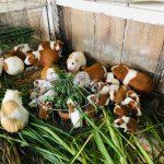 Día Nacional del Cuy: Entre las carnes con menos grasa