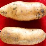 Minagri desarrolla nuevo camote con alta calidad genética