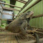 Rescatan reptil encontrado en una casa de Huachipa