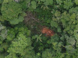 Monitorean más de 3 millones de hectáreas de bosques amazónicos