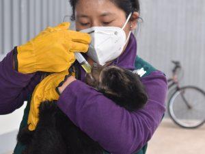Osezna de anteojos se recupera en Lima