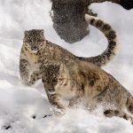 Día Internacional del Leopardo de las Nieves: Víctima del cambio climático