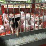 La Convención: Productores mejoran calidad genética de cerdos