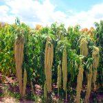 Presentan kiwicha con alta calidad nutricional y genética