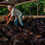 Tocache: Capacitan en manejo y mitigación ambiental en cultivo de cacao