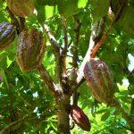San Martín: Proyecto Cacao y Café impulsa producción en Rioja