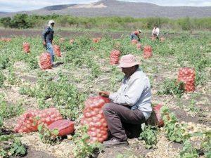 Arequipa: Productores buscan exportar cebolla a Brasil