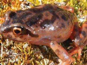 Protección de la rana gigante es prioridad para Junín