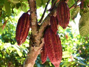 San Martín: Más financiamiento para proyectos de cacao y café