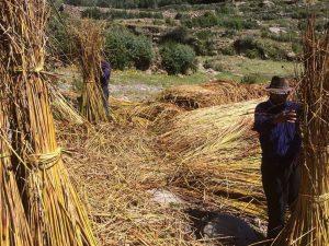 Puno: Artesanas aprovechan y conservan totora del Lago Titicaca